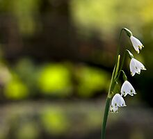 Leucojum by ChrisSinn