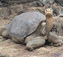 Lonesome George (Galapagos Calendar #4) by mgeritz