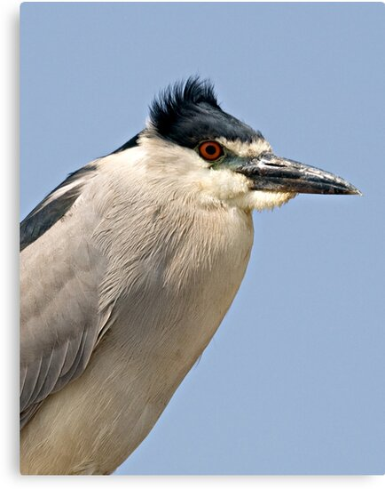 Black Crowned Night Heron by Michael  Moss