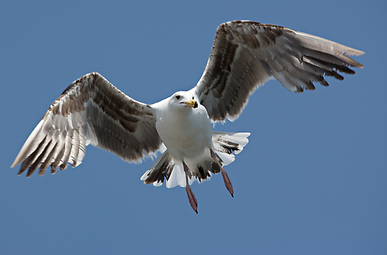 Inbound Sea Gull by Michael  Moss