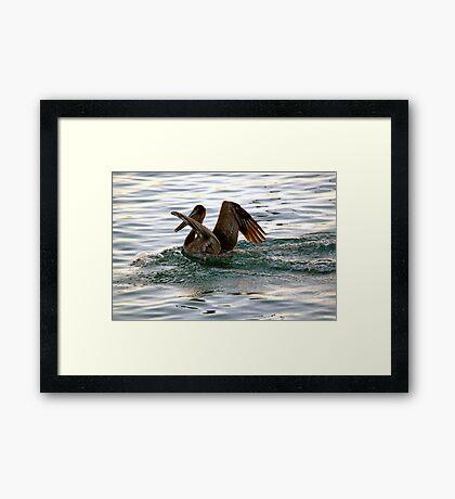 Brown Pelican Sunset Landing Framed Print