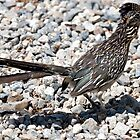 Greater Roadrunner by Michael  Moss