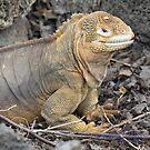 Female Land Iguana (Galapagos Calendar #2) by mgeritz