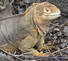 Female Land Iguana (Galapagos Calendar #2) by mgeritz