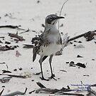 Wandering Tattler (Galapagos Calendar #9) by mgeritz