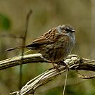 Dunnock by Russell Couch