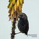 Darwin Medium Ground Finch (Galapagos Calendar #11) by mgeritz