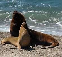 Awesome South American Sea Lion by cute-wildlife