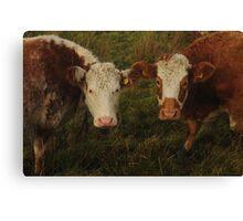 Cows Girlfriends II Canvas Print