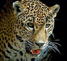 leopard by antonalbert1