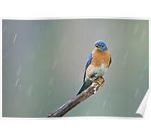 Eastern Bluebird - Cayuga, Ontario, Canada Poster