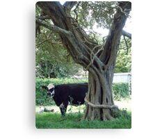 Cows on Norfolk island Canvas Print