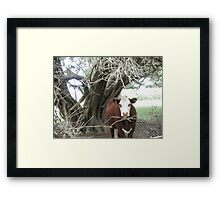 Cows on Norfolk Island Framed Print
