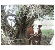 Cows on Norfolk Island Poster
