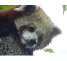 Red Panda Print 13 Photographic Print