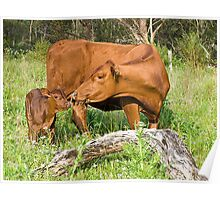 Day old calf Poster