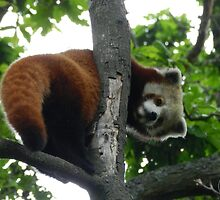 Red Panda Print 16 by NonfatalNerdism