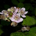 delicate blackberry flowers by dedmanshootn