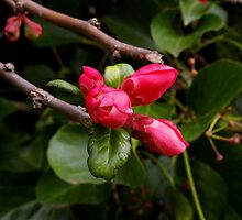 bright pink buds by dedmanshootn