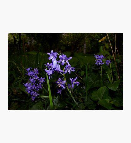 beautiful spotlit bluebells Photographic Print