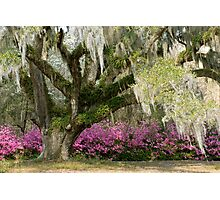 Live Oak Tree Photographic Print
