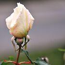 Rose bud by MarieG