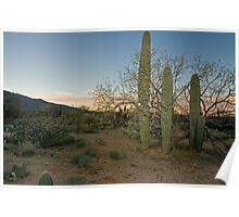 cactus in Tucson Poster
