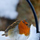 Robin in snow, The Rower, County Kilkenny, Ireland by Andrew Jones