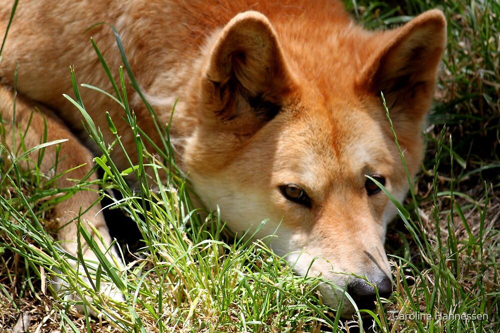 Sleepy Dingo by Caroline Hannessen