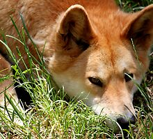 Sleepy Dingo by Caroline Hannessen
