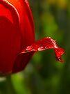 """Blushing Tulip"" by Heather Thorning"