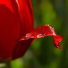 """Blushing Tulip"" by Heather Thorning"