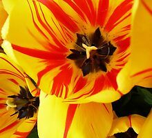 Two toned tulips by Janette Anderson