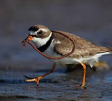 Semipalmated Plover  by Rob Lavoie
