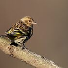 Pine Siskin by Rob Lavoie