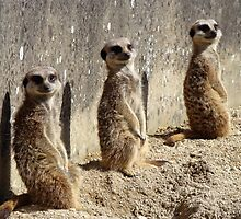 Meerkats by Richard Hepworth