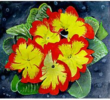 primulas Photographic Print