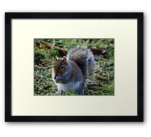 A Beautiful Grey Squirrel Framed Print