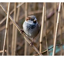 A Very Cute Sparrow Photographic Print