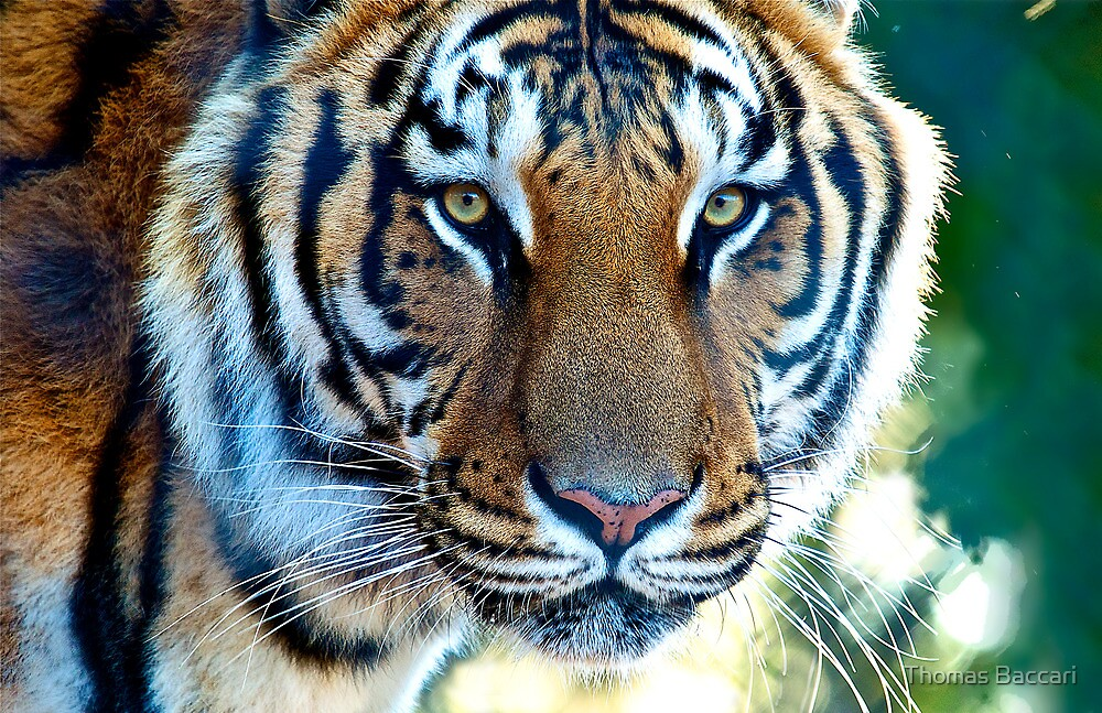 The Eye of the Tiger by TJ Baccari Photography