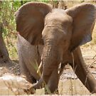 SERIES: # UPCLOSE AND PERSONAL WITH ELEPHANTS IN MAPUNGUBWE! by Magriet Meintjes
