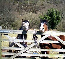 Ponies at Nant-Y-Coed by Michael Haslam