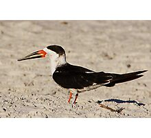 Black Skimmer Photographic Print