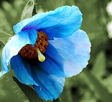 Poppy Blue by hootonles