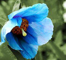 Poppy Blue by hootonles