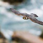 Peregrine Falcon 2 - Niagara Falls Ontario, Canada by Raymond J Barlow