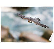 Peregrine Falcon 2 - Niagara Falls Ontario, Canada Poster