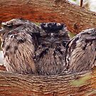 Tawney Frogmouth Family by Eve Parry