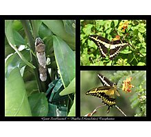 Butterfly Collage ~ Giant Swallowtail Photographic Print