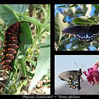 Butterfly Collage ~ Pipevine Swallowtail by Kimberly P-Chadwick